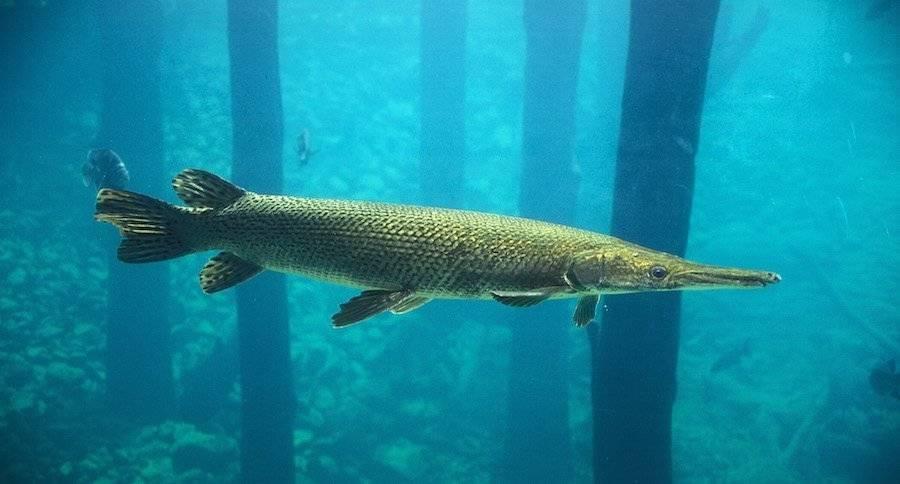 Рыба миссисипский панцирник: описание и среда обитания