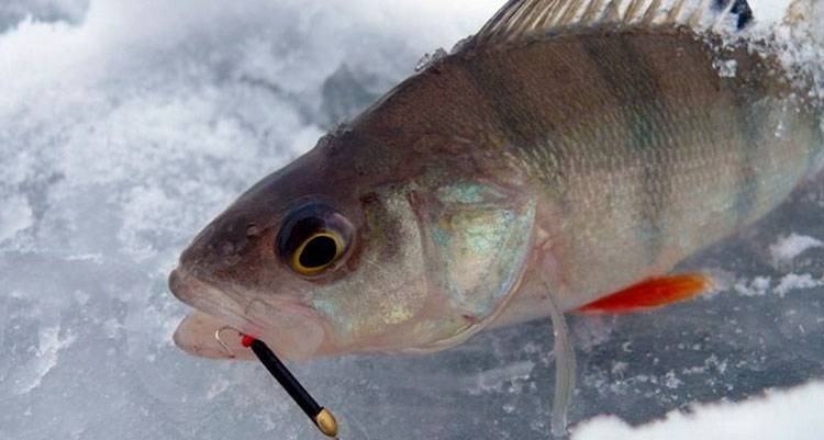 Ловля плотвы зимой на мормышку и покаток | видео с рыбалки
