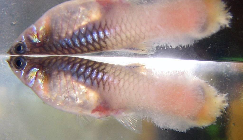 Гексамитоз рыб: симптомы, лечение в общем аквариуме