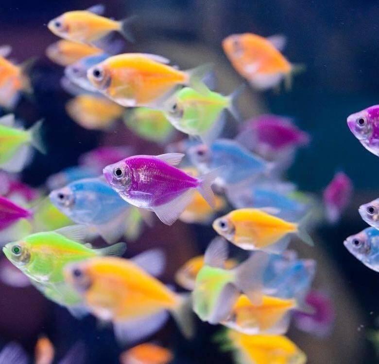Вьюновые аквариумные рыбки: виды, содержание, разведение