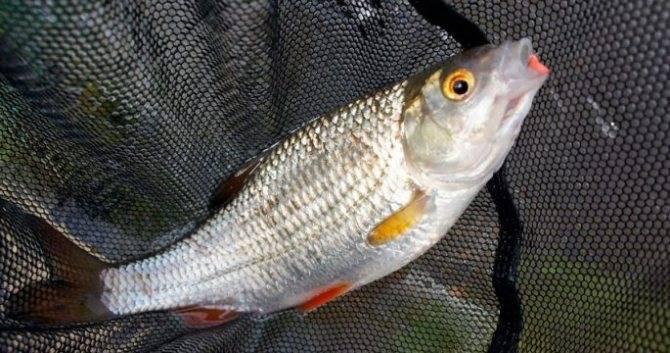 Как ловить рыбу сорожку?