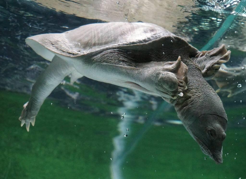 Китайская черепаха трионикс: содержание, описание, размножение