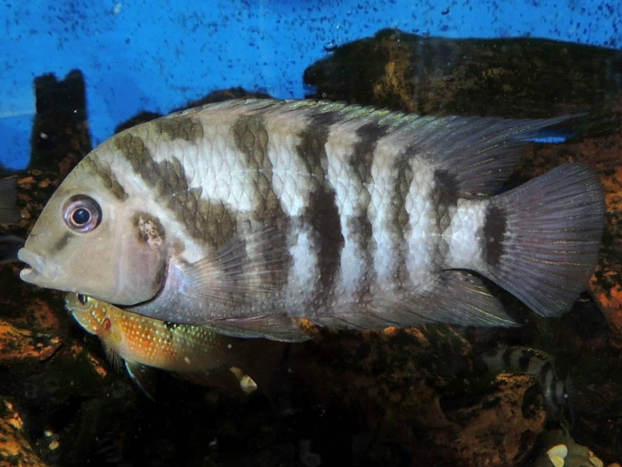 Цихлазома чернополосая (полосатая цихлида, зебра): совместимость с другими рыбкам, содержание, размножение (разведение), мальки, фото