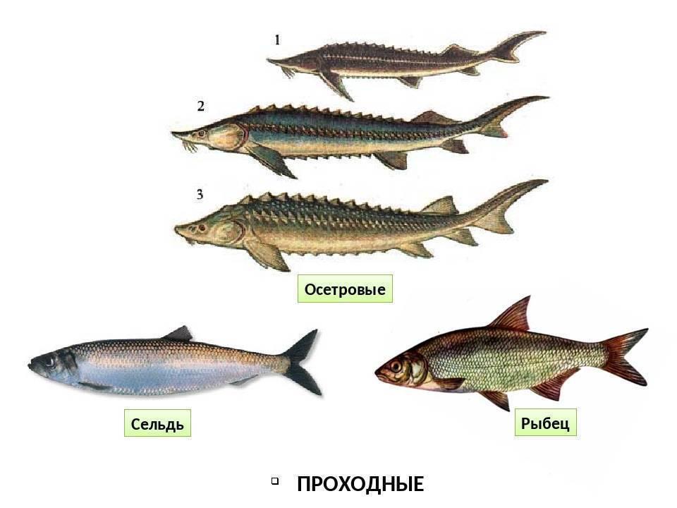 Интересные факты о рыбе ерш