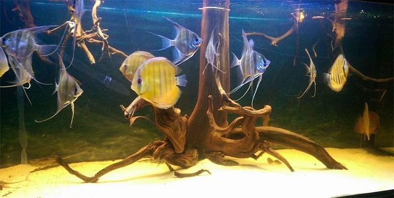 Какие рыбы уживаются с гуппи? 24 фото совместимость гуппи с петушками. с какими другими рыбами они могут жить в одном аквариуме?