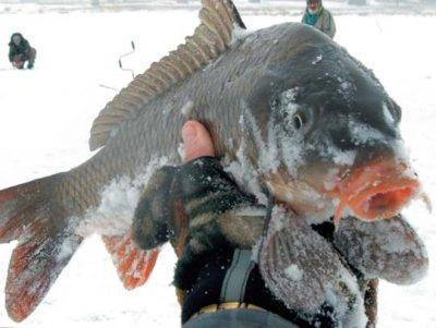 Тактика зимней рыбалки на карпа и подбор наживки