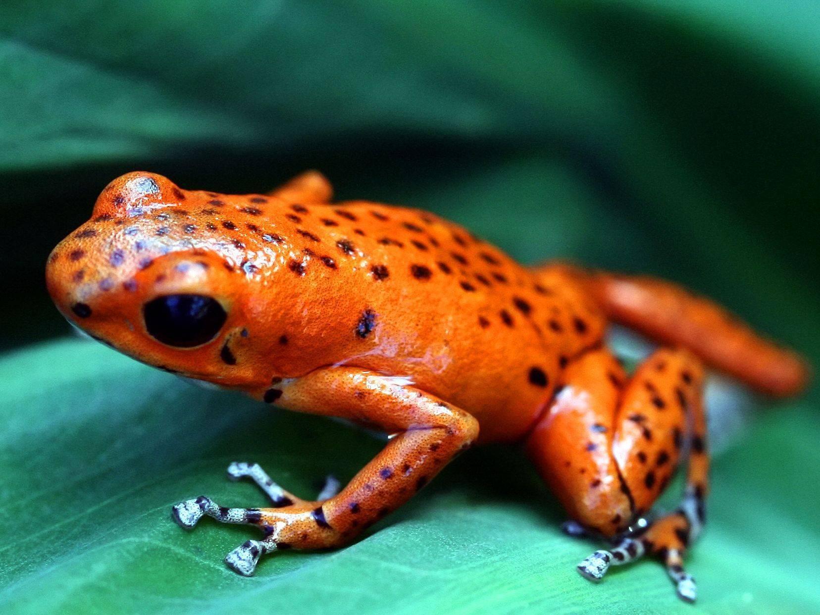 Рейтинг самых маленьких лягушек в мире