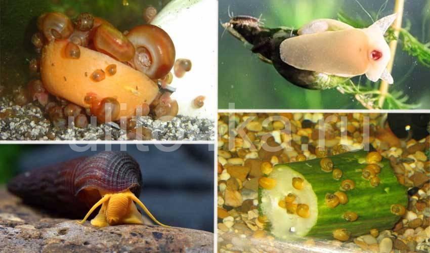 Как быстро избавиться от мелких улиток-катушек в аквариуме