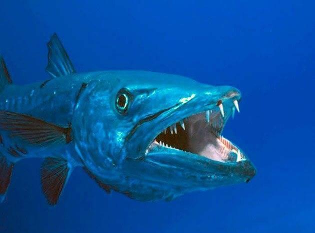 Барракуда рыба отзывы