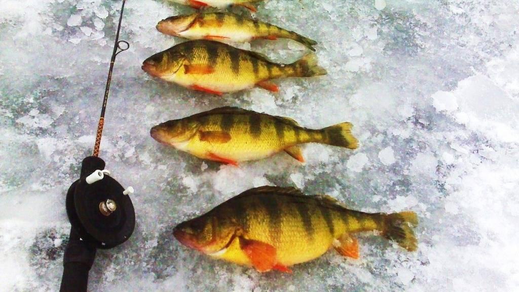 Зимняя рыбалка на окуня по перволедью