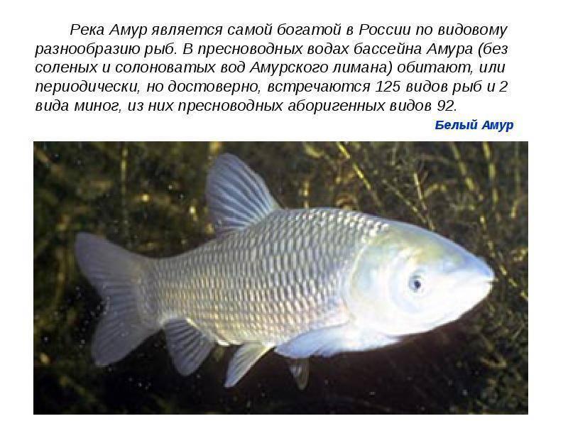 Пресноводный белый амур рыба— достояние наших водоемов