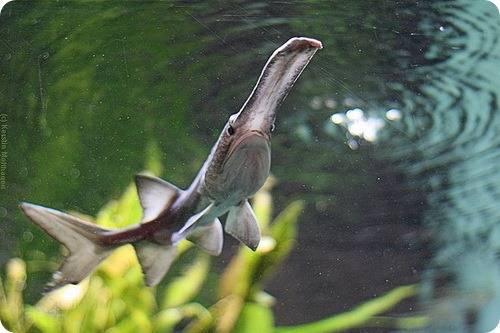 Рыба веслонос — фото, описание жизненного цикла, ареал обитания, особенности ловли