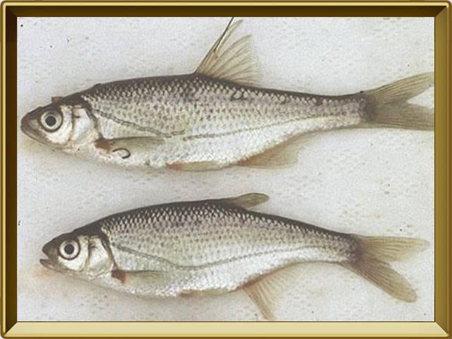 Рыба усач: описание, распространение и способы ловли