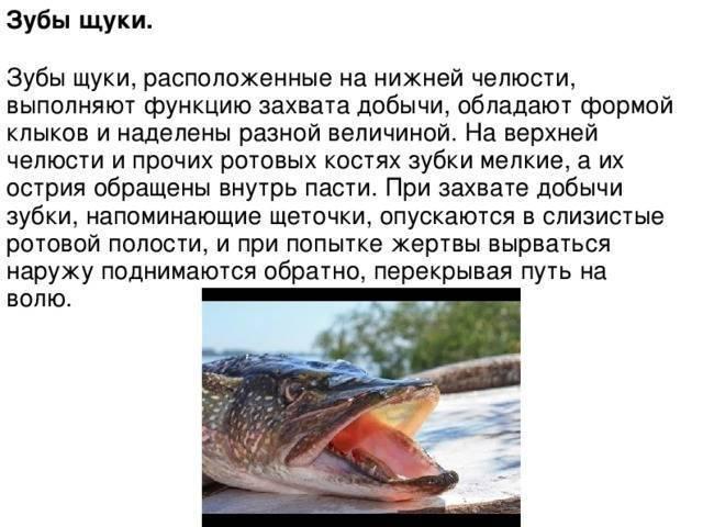 Рыба щука?: фото и описание. как выглядит щука?, чем питается и где водится