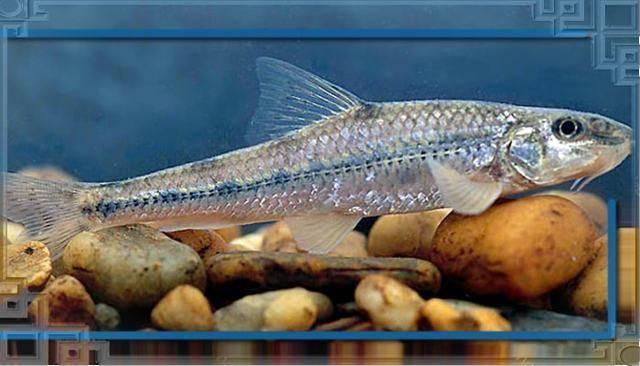 Что за рыба пескарь?