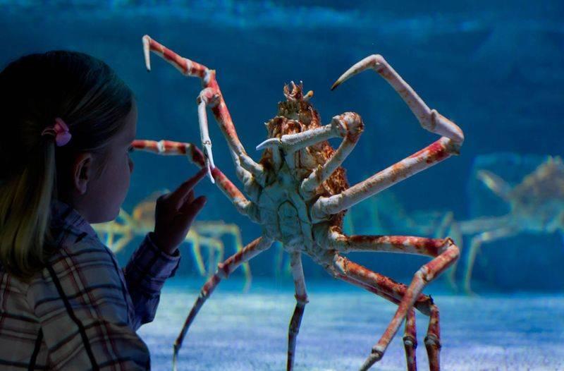 Японский краб-паук: особенности и внешний вид гигантского краба