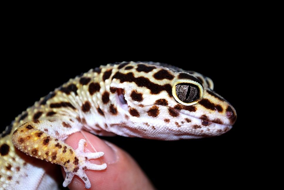 Леопардовый геккон эублефарсодержание и уход