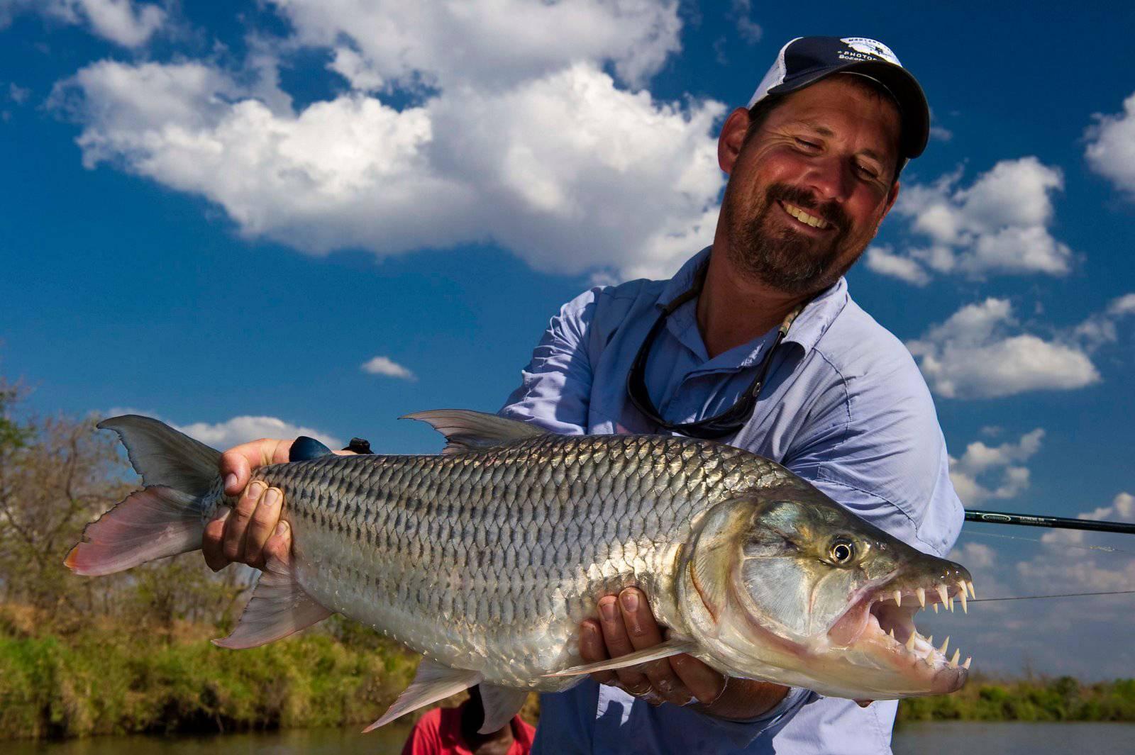 Тигровая рыба голиаф рецепт приготовления. водный монстр из африки — тигровая рыба голиаф. с кем уживаются голиафы