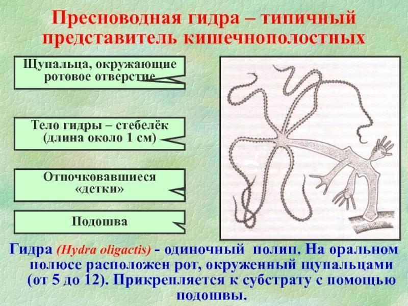Гидра — класс гидрозои: органы чувств, нервная и пищеварительная системы, размножение. внешний вид, передвижение и питание пресноводной гидры регенерация у гидры осуществляется за счет