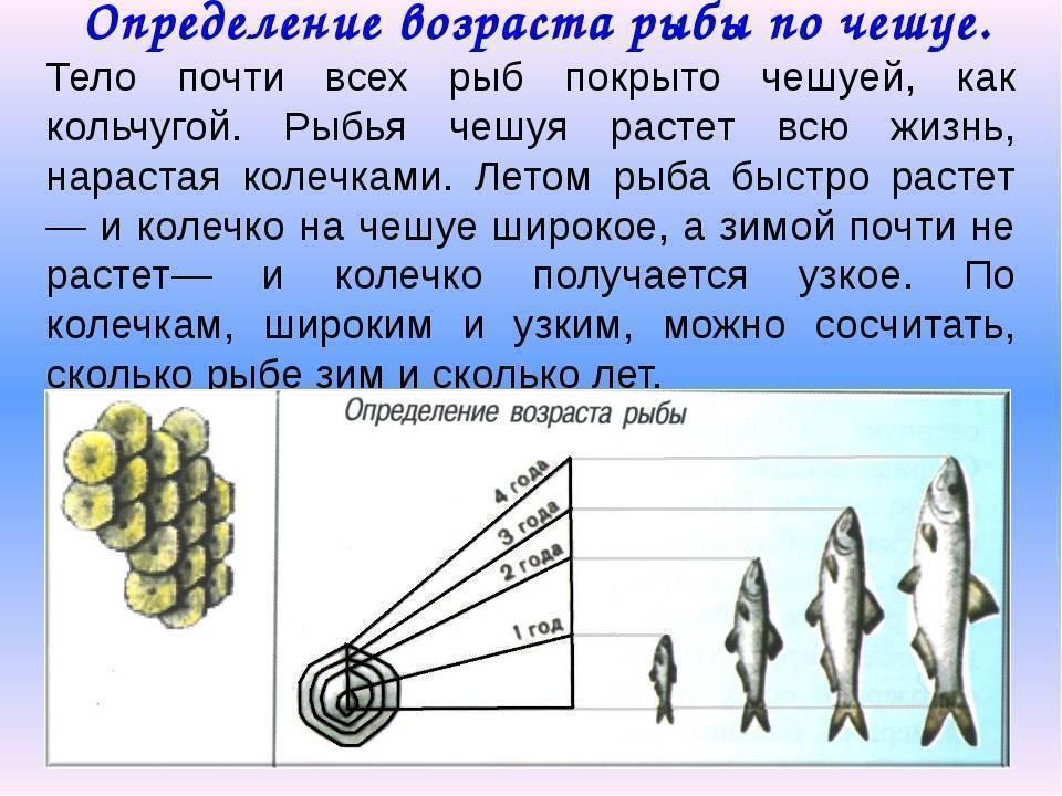 Как определить возраст рыбы по чешуе: способы определения