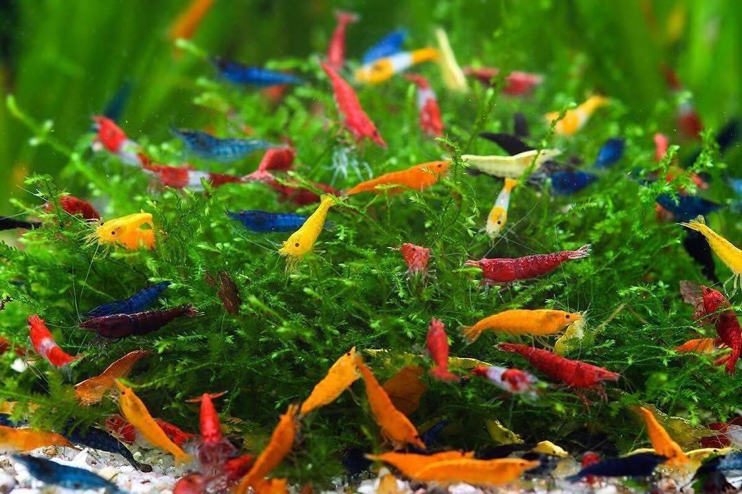 Креветка вишня - черри: содержание, совместимость, размножение, фото-видео ,описание.   аквариумные рыбки