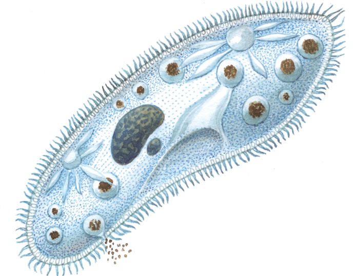 Биология – инфузория туфелька: особенности строения, передвижения и жизнедеятельности, питание, особенности, размножение: схемы и рисунки