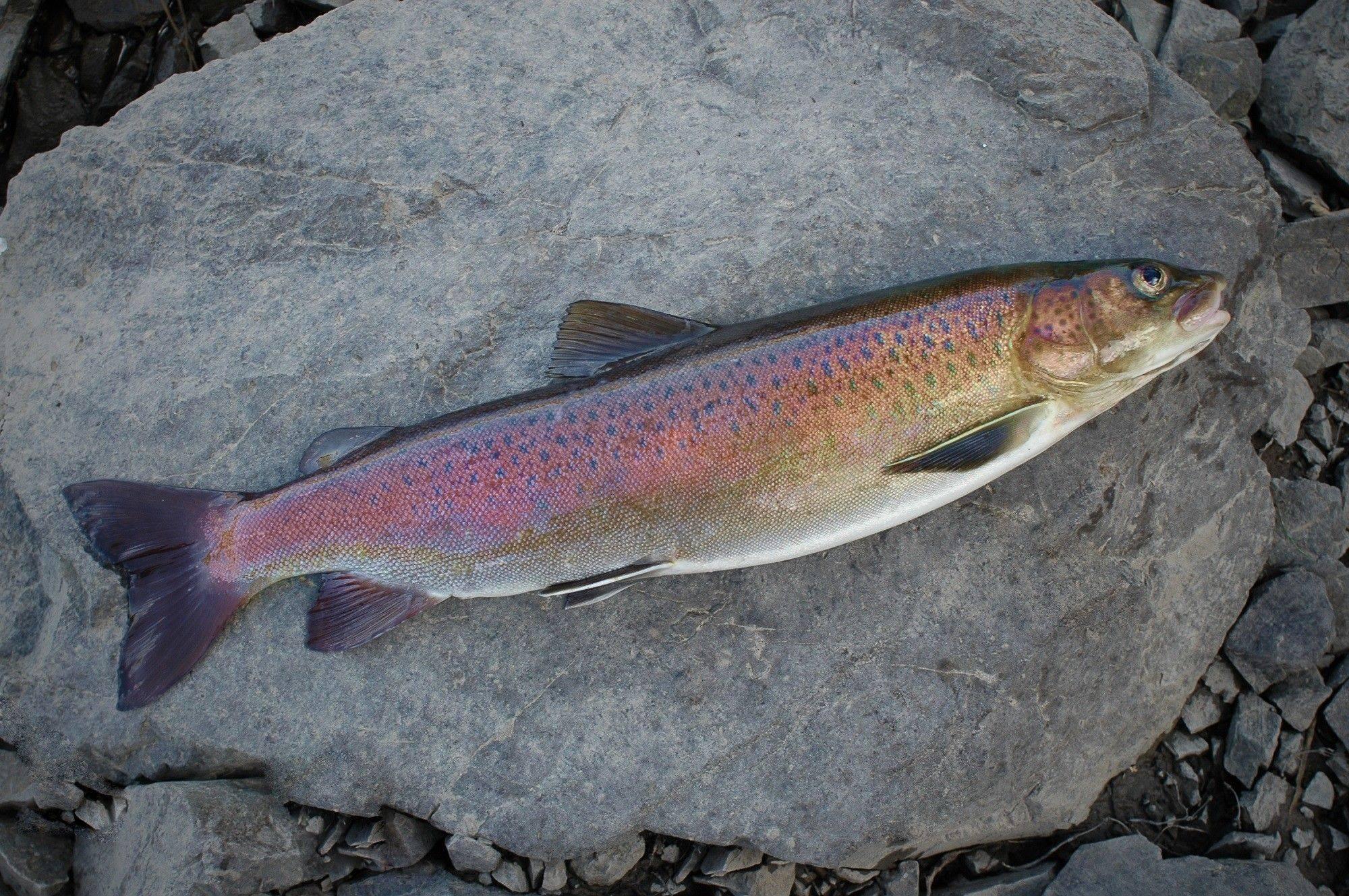 Рыба дальнего востока фото и названия