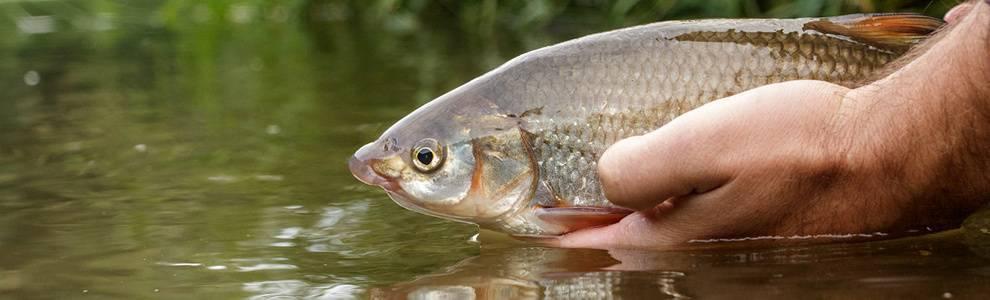 Подуст: образ жизни рыбы и способы ловли