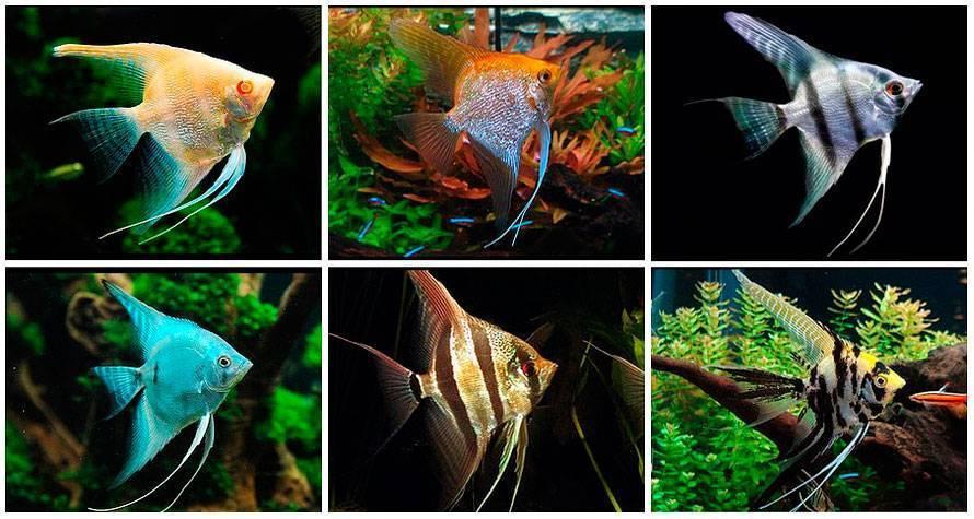 Сколько живут аквариумные рыбки скалярии