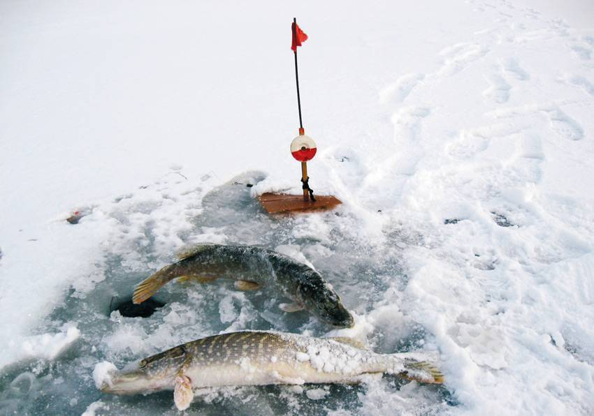 Ловля щуки на жерлицы зимой: выбор снасти и эффективная тактика