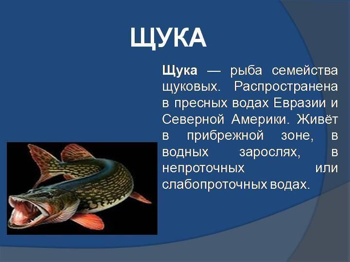 Щука: виды, размножение, питание, размер, происхождение, фото, видео, описание
