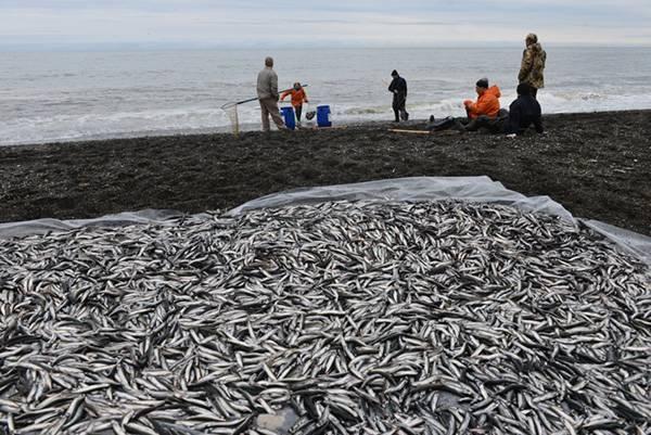 Рыба уёк (мойва): описание, места обитания, хозяйственное значение