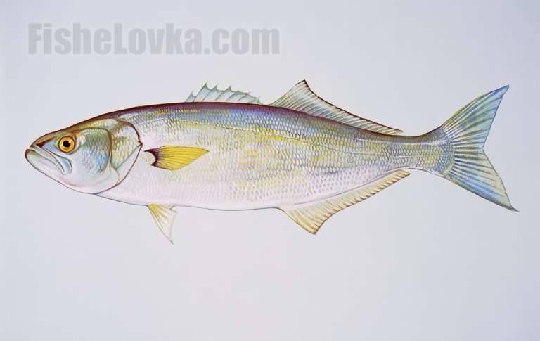 Кулинарная ценность рыбы сибас