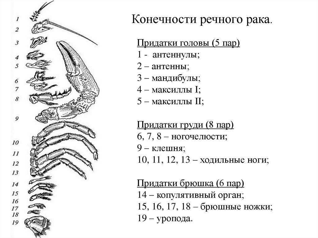 Схема строения рака речного: особенности внешнего вида, системы внутренних органов