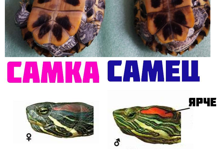 Всё о содержании красноухих черепах в домашних условиях