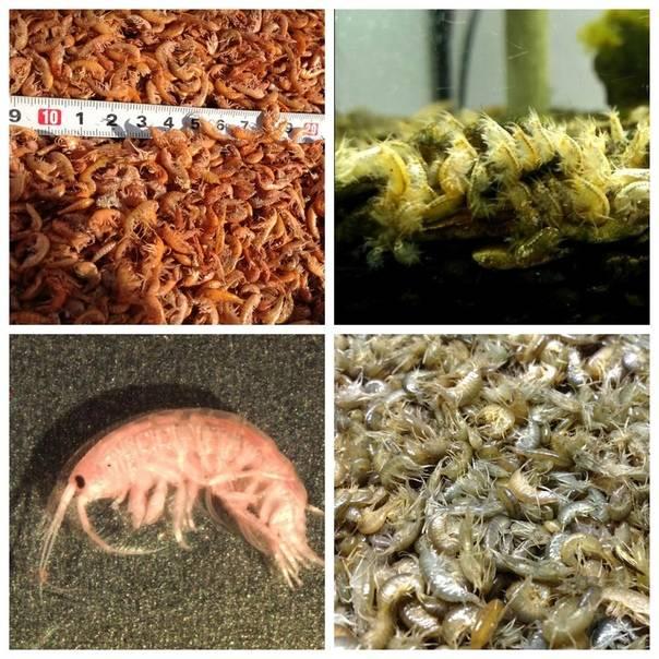 Гаммарус рачок. описание, особенности, виды, образ жизни и среда обитания гаммаруса