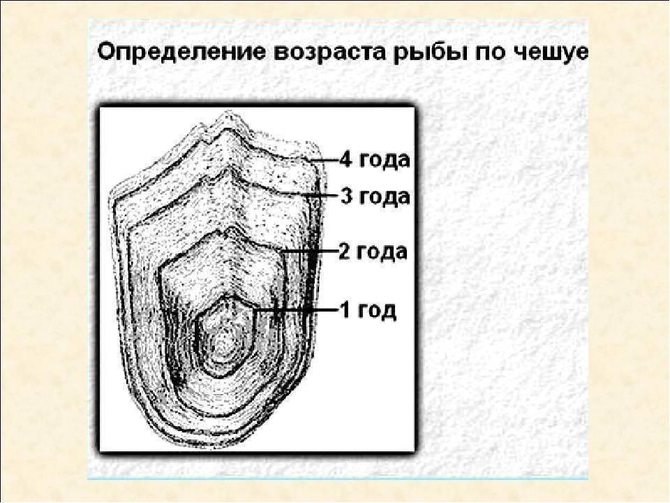 Методы, если приспичило узнать возраст рыбы | makchen.ru | яндекс дзен