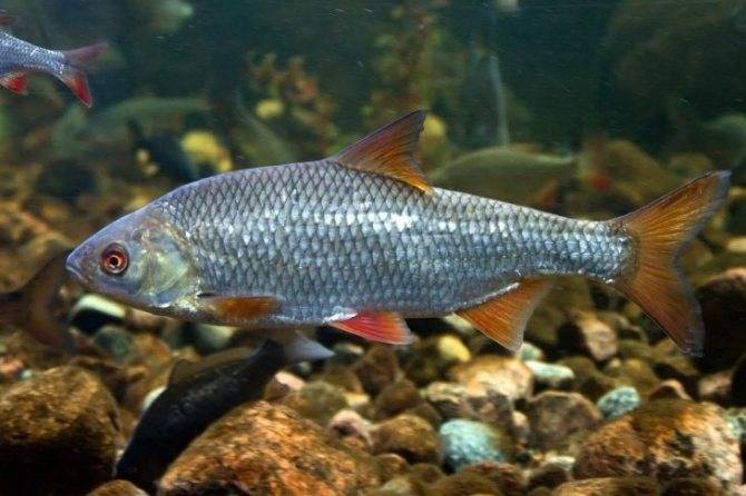Список речных рыб