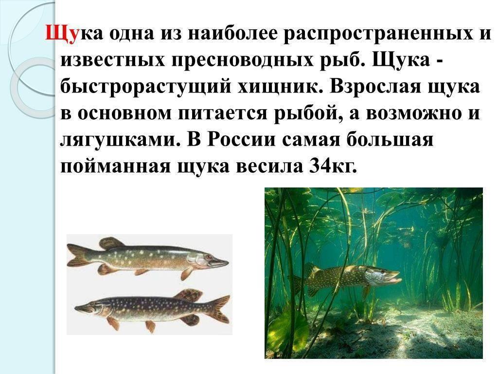 Щука: образ жизни, повадки, способы ловли