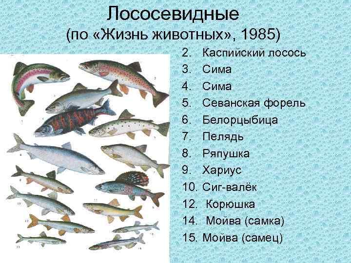 Семейство лососёвых: внешние особенности представителей вида, список видов и их отличия, нерест рыбы