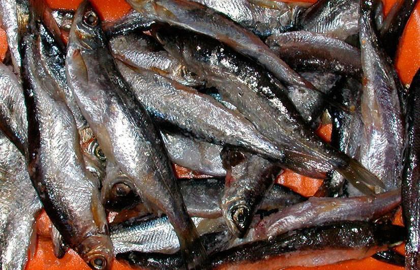 Тугун: описание и места обитания маленькой рыбы, особенности рыбалки и способы приготовления улова