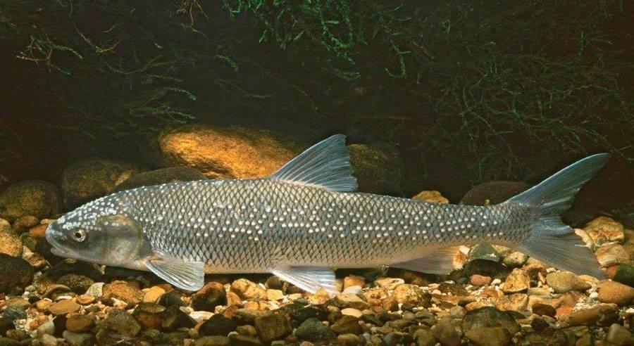 Рыба вырезуб: описание и фото :: syl.ru