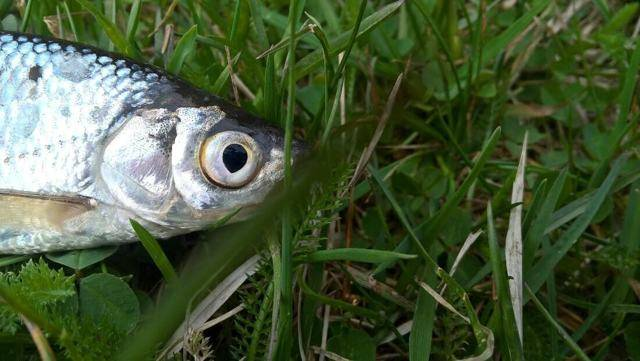 Уклейка (рыба): описание, полезные свойства, калорийность. рецепты приготовления :: syl.ru