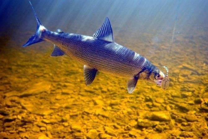 Рыба сиг костлявая или нет — ловись рыбка