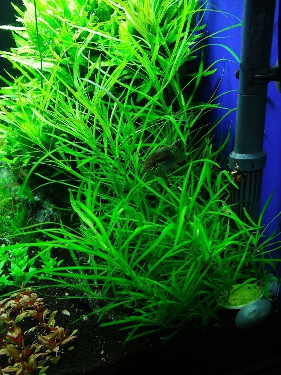 Погостемон хелфери – содержание в аквариуме + фото и описание
