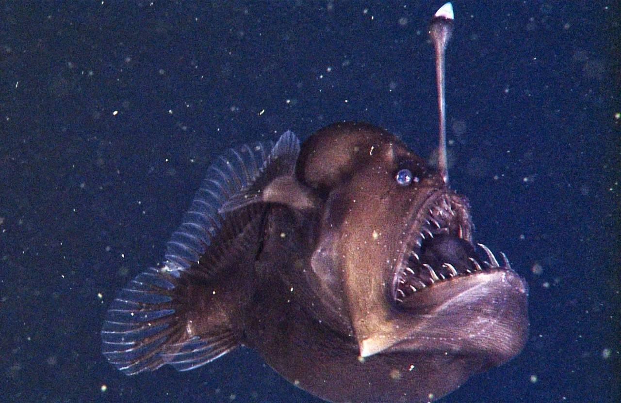 Рыба с огоньком. описание глубоководной рыбы с фонариком на голове