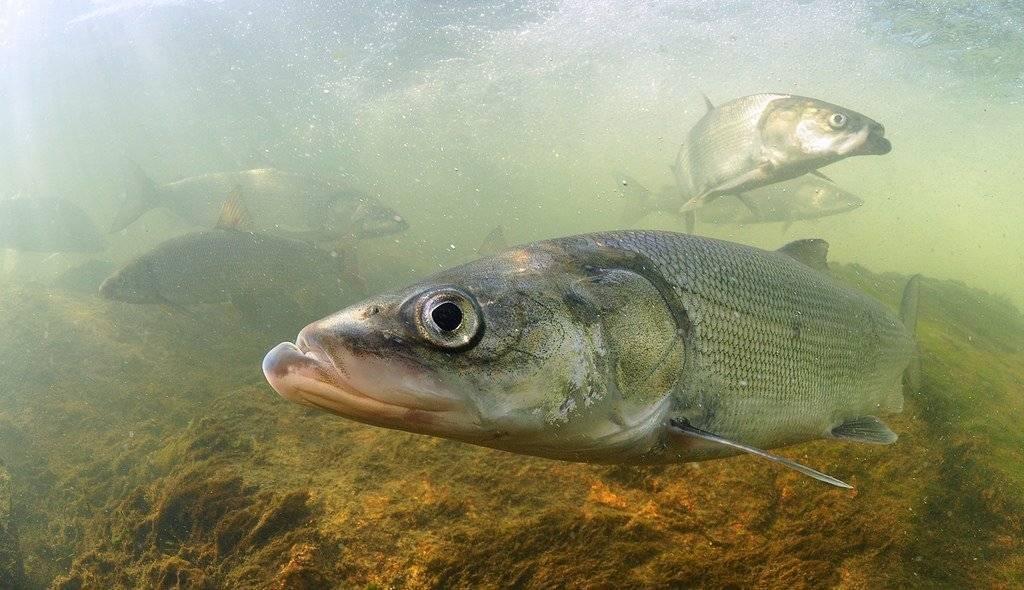 Ловля налима осенью: когда начинает клевать, как поймать, снасти и наживки для рыбалки