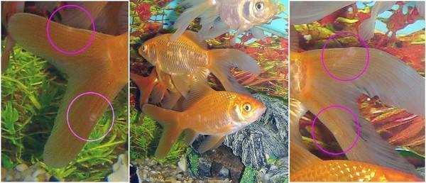Золотая рыбка веерохвост: замечательный питомец для холодноводных аквариумов