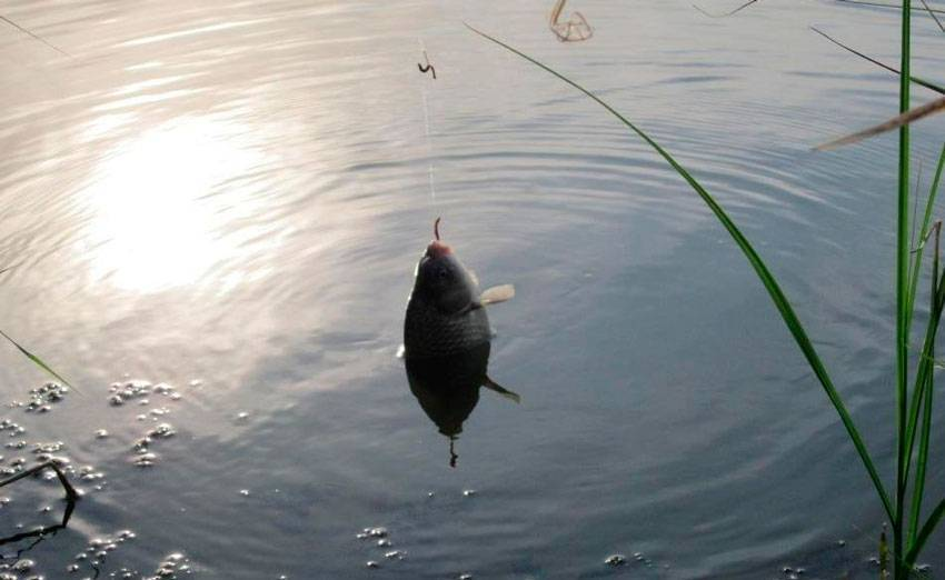Ловля крупного карася в небольших водоемах. фото. видео.
