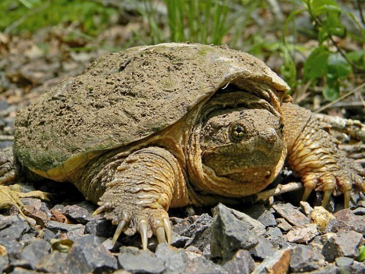 Слоновая черепаха, описание, фото
